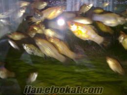 70 cm akvaryum iç malzeme artı 50 tane velifera balık aryın görüşelim