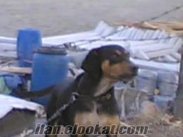 Satılık Domuz Köpeği