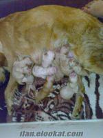 izmir- kuşadası satılık golden yavruları