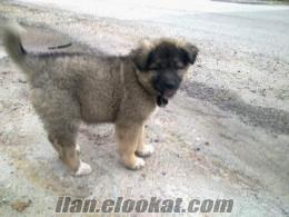 istanbulda sahibinden satılık dişi kafkas çoban köpeği