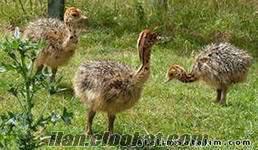 satılık devekuşu yavrusu