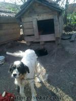 kurtulda sahibinden köpek
