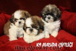 K9 Avrupa Evcil Hayvan Çiftliğinden Satılık Orjinal Shitzu Yavruları