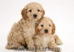 COCKAPOO Yavrularımız tuvalet eğitimlidir köpek