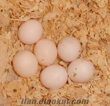 Satılık papağan ve papağan yumurta