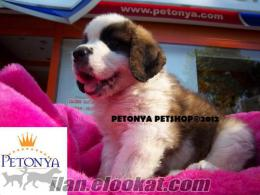 S.TBERNARD yavrulari satılık petonya petshop