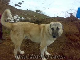 k.maraş elbistan ilçesinde satlık kangal köpeği