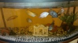 izmir buca satılık akvaryum balıkları sarı prenses, mavi prenses , yunus, aqu