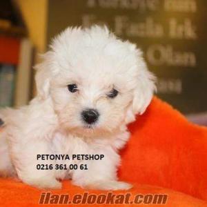 satılık karbeyaz teacup maltese terrier yavrular