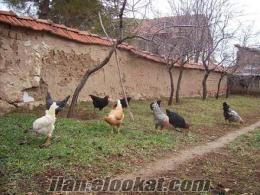 canlı yumurtlayan köy tavugu