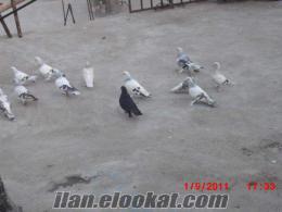 şırnaktan satılık güvercinler miski kara kanat hepside oyunlu kuşlardır 20 tane