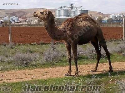 ankarada satılık deve