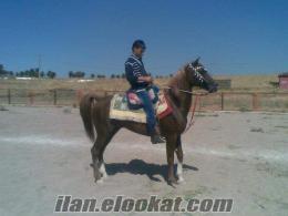 Uşakda satılık arap atı