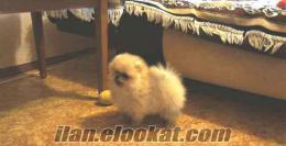 Özel Üreticiden satılık pomeranian yavruları