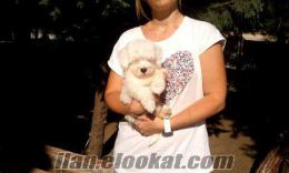 Original Beyaz Maltis Terrier Yavrular