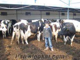 seraylar tarım hayvancılık .tic büyükbaş hayvancı