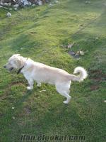 Labrador Retriever cinsi köpeğime dişi arıyorum