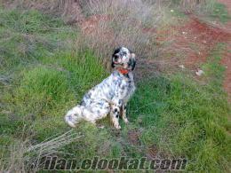 yurt dışından satılık breton kuş köpeği