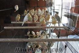 Antalya Satılık Kanarya Kümesi. 59 Tane renk kuşu.