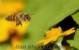 Hakiki Kızıldağ Çiçek Balı