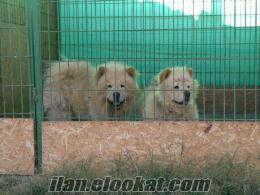 Ankarada satılık yavrularrr