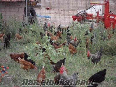 yumurtlar durumda isa brown ve ataks tavuk
