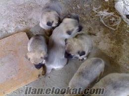 orjinal kangal yavruları
