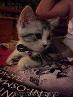 alanyada 4 aylık whiskas kedisi