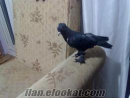 aydından satılık güvercin