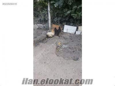 satılık kırma tavuklar ve brahma civcivleri