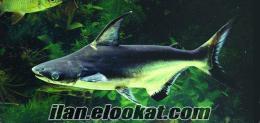 çeşitli türlerde balıklar satılık ciklet vatoz köpekbalığı