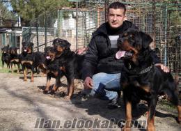 rottweiler yavrularımız Osmangazi