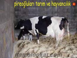 Bursada satılık inekler