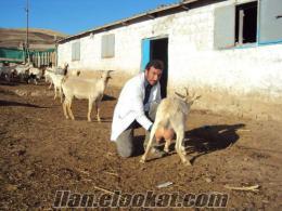 Sivas Gemerekde saanen keçi