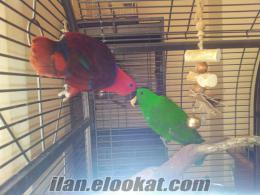 Yavru Eklektus Papağanlar ( Eclectus Parrot ) ve Sarı Kafalı Amazon