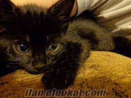 küçük kara panter (=