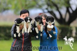 border collie yavruları bursak9 güvencesiyle