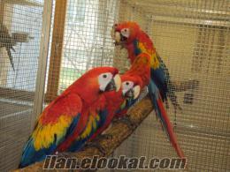 Şişlide scarlet macaw