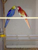 Eyüp rozella papağanı