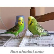 üretim haneden satılık muhabbet kuşu kanarya, saka, mulbul bulunmaktadır.