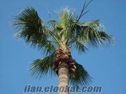 30 yıllık palmiye ağacımı satmak istiyorum