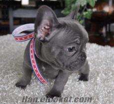Soyağacı ile Fransız bulldog yavru