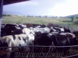Çelikhanda inek alınır satılır