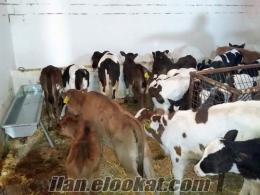 çifliğimde satılık kaliteli holstein inekler