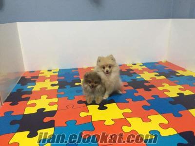 Bursada pomeranian yavruları