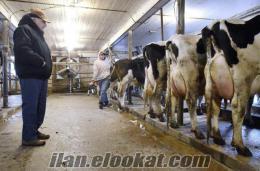 yetiştiriciden satılık süt inekleri gebe düveler ve danalar