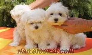 maltese terrier yavrusu