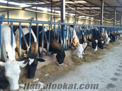 Mustafakemalpaşada satılık inekler