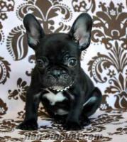 Kabulü için üç Fransız bulldog yavru.