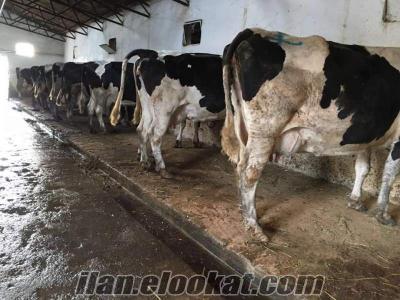 satılık, inekler